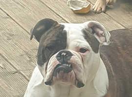 New England bulldog bitch 16 months old