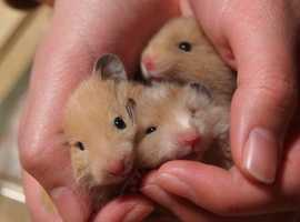 Lovely little hamsters and rats