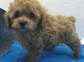 Adorable male Poodle puppy available