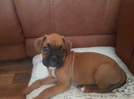 Boxer boy puppy