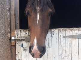 Dark bay quantock mare