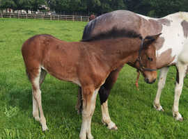 Filly foal for sale in October