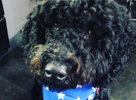 Extensive health checked Fb2 Stud labradoodle