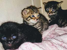Litter of 3 stunning kittens