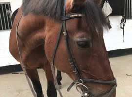 Wanted 15hh - 16hh safe horse