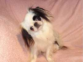XXS Gorgeous Japanese Chin Black & White Adult Girl