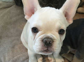 lovely ADORABLE PLAYFUL French Bulldog PUPPIES for sale. Perfect company for these times at home