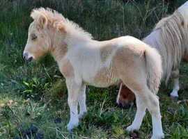Minature Shetland palomino and white SPSBS registered colt
