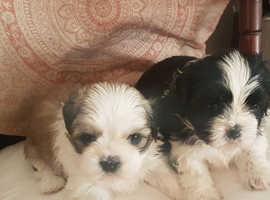 Beautiful pure shih Tzu pups