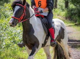 Adorable 12 y.o. 14.2 Cob looking for experienced home as hack or project