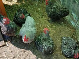 Pekin bantam cockerels 11 wks