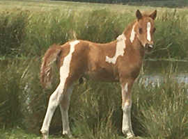 Foal (estimated to make approx 12.2 - 13hh