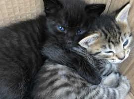 Beautiful Old-Type Siamese x Kittens