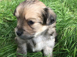 Beautiful pomchi puppies