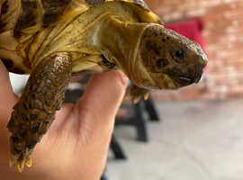 Horse field tortoise and enclosure for sale