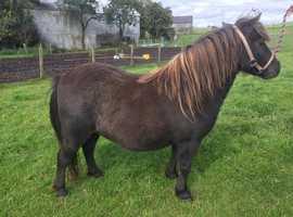 Miniature Shetland mare