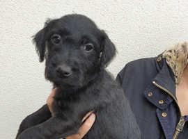 Jagd terrier x patterdale puppys ready now