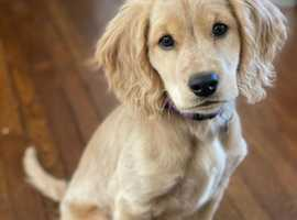 Wanted - Male Puppy Golden Cocker Retriever or Mini Golden Retriever