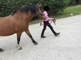 Oscar, 12 year old Bay Gelding