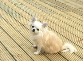 Female apple head chihuahua full breed