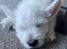 8 weeks old Westie boy