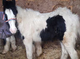 8 mth old colt foal
