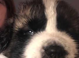 St Bernard Girl Puppy