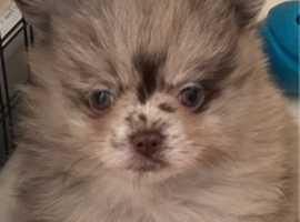 choco merle boy choco and tan girl pup