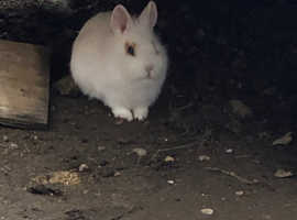 11 week old dwarf rabbits for sale