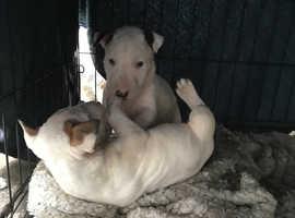 KC registered English bull terriers