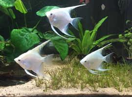 3 Beautiful Angelfish