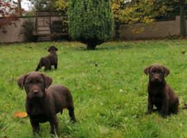 Chocolate Labrador pups