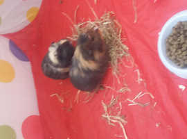 Ronnie and Reggie, 4 month old male guinea pigs.
