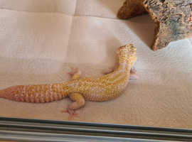 Leopard gecko with complete setup
