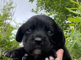 Chunky Springador Puppies
