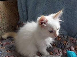 Gorgeous redpoint Ragdoll kittan