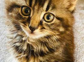 Maincoon X female kitten
