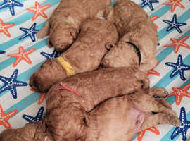 Litter of adorable 6 f1bb goldendoodle pups, 4 boys need a loving home