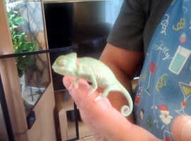 Yemen / veiled chameleons, high pied, low pied and normals male and female available
