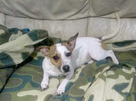 10 month old unneutered female jack russell