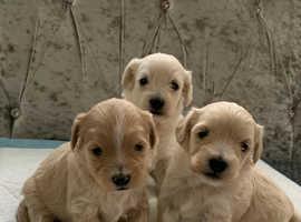 3 adorable westipoo puppies