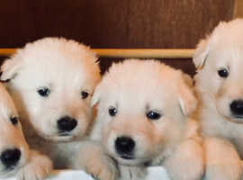 Beautiful White Pedigree KC Registered Champdog German Shepherd Pups