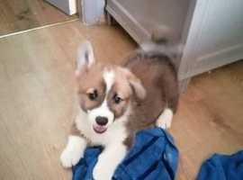 Welsh Pembroke Corgi puppies KC Registered