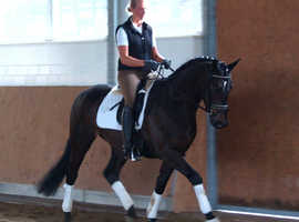 A GENUINE DRESSAGE HORSE WITH AMAZING PRESENCE