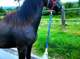 CRACKING SEC D WELSH COB JUST 12MONTHS OLD