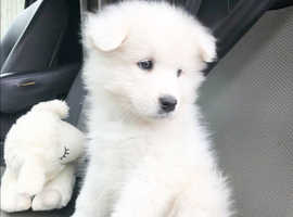 Stunning Samoyed Puppies For Sale