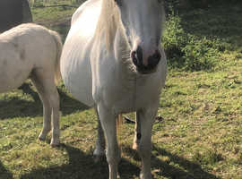 Grey mare 16 year old registered section A