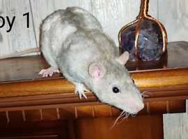 Beautiful baby rex rats to be sold in pairs only