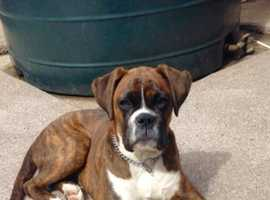 BOXER female 10mths old for sale Ikc registered