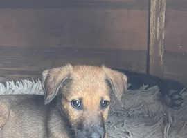 9 Lurcher X Belgium Malinois puppies